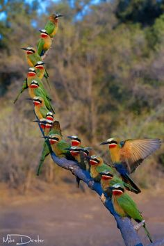 Africa | White fronted bee eaters make use of a perch above their colony on Mashatu Game Reserve in Botswana. | © Mike Dexter