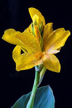 ♥ Yellow Canna Flower Photograph by Garry Gay