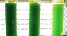 algae to oil The found that when you superheat algae in a thin metal tube and then place it in 1,100-degree F, the algae heats to over 550 degrees in a minute. This, in turn, turns roughly 65 percent of the plant into biocrude.