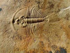 Olenellus fowleri American Trilobite  Trilobites Order Redlichiida, Family Olenellidae  Lower Cambrian   C- Shale, Combined Metals Member, Pioche Shale Formation, Lincoln County, Nevada