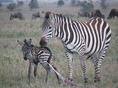Newborn zebra, Serengeti National Park, Tanzania
