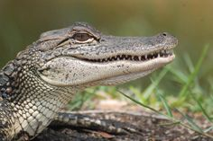 Alligators can live to be more than 100 years old.