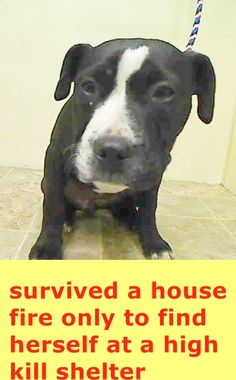 Manhattan Center AMANDA - A1031518 FEMALE, BLACK / WHITE, PIT BULL MIX, 5 mos STRAY - ONHOLDHERE, HOLD FOR DISASTER Reason FIRE Intake condition UNSPECIFIE Intake Date 03/28/2015 https://www.facebook.com/Urgentdeathrowdogs/photos/pb.152876678058553.-2207520000.1427659865./984445251568354/?type=3&theater