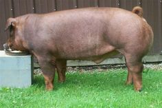 Duroc Hogs | Duroc Show Pigs Champion duroc and 3rd overall