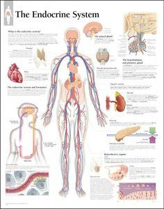 The endocrine system in the human body - Anatomy Note Human Body Anatomy, Human Anatomy And Physiology, Nursing School Notes, Nursing Schools, Ob Nursing, Nursing 2016, Nursing Math, Nursing Assessment, Nursing Profession