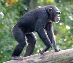 Image result for chimp