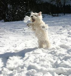 Rosie, the Westie, jumping to catch a snowball in the Brecon Beacons, Wales was sent in by Roger Tavener