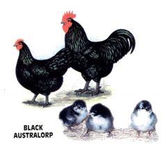 Black Australorp