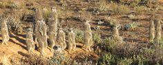 Meerkats Gang Up, Big Family, Mammals, Habitats, Adventure, Outdoor, Outdoors, Adventure Game, Outdoor Games