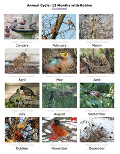 Robins and the Seasons - the Annual Cycle