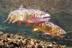 Stunning underwater trout photography, from rainbow and brook trout to brown trout, steelhead, and sockeye, featuring native habitats and rare species. Usa Fishing, Fishing World, Fly Fishing Tips, Gone Fishing, Trout Fishing, Fishing Stuff, Fish Tales, Fishing Pictures, Brown Trout