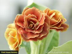 Primula Auricula, Baltic Amber, Evergreen, Planting Flowers, Rose, Plants, Gardening, Rockery Garden, Leather