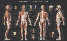 Balanced Body Anatomy Poster $39.95
