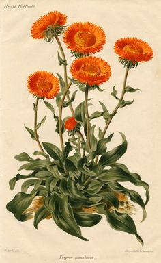 Image Friday Orange Blooms Free vintage image from . Perfect for paper crafts and scrapbooking!Free vintage image from . Perfect for paper crafts and scrapbooking! Illustration Botanique, Illustration Blume, Science Illustration, Nature Illustration, Floral Illustrations, Vintage Botanical Prints, Botanical Drawings, Vintage Botanical Illustration, Botanical Flowers