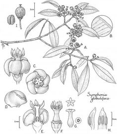 Scientific Illustration - Tropical Flora   American Society of Botanical Artists