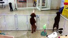 Dans une  Pension Animalière, un Caniche, fou de joie de revoir sa Maîtresse qui vient le rechercher.