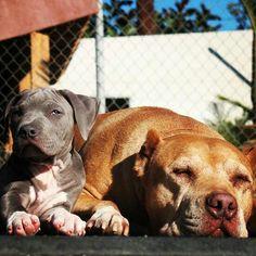 Cesar Milan's dogs Junior & Daddy