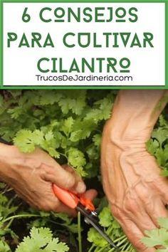 Eco Garden, Vegetable Garden Design, Garden Care, Garden Terrarium, Garden Plants, Como Plantar Cilantro, Organic Gardening, Gardening Tips, Cilantro Plant