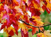 Understanding fall leaf color