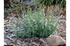 Large Photo of Penstemon linarioides ssp. coloradoensis