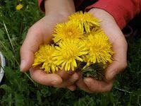 Harvest Moon by Hand: Dandelions - Outdoor Hour Challenge Spring Series #4