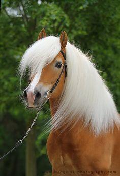 Haflinger Stallion Allacher Karolina Wengerek EQUINE PHOTOGRAPHY
