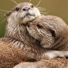Cute otters wallpapers 1024x1024 (17).jpg 1,024×1,024 pixels