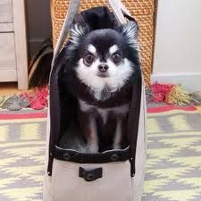 Gorgeous Chi traveling in style