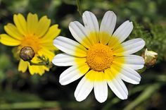 Glebionis coronaria, formerly called Chrysanthemum coronarium, is a species of flowering plant in the daisy family.     Family:	Asteraceae Genus:	Glebionis Species:	G. coronaria