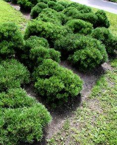 Pinus mugo ´Pumilio´, kääpiövuorimänty_0376