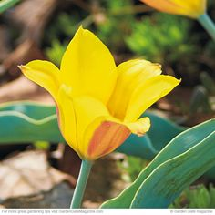 Kolpakowski's tulip  Each of these bulbs produces a single flower per stem, and since this tulip likes very hot, dry soil while dormant in summer, containers are a great place to grow and keep them.   Cold-hardy USDA zones 3 to 8