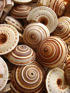 sundial shells - these natural shades of creams, browns and greys & vivid patterns are a wonderful inspiration for interior design...
