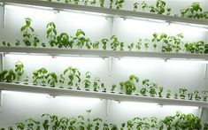 Hydroponics Gardening Home Hydroponics Indoor Gardens - Have you tried decorating all kinds of ways to make your home look different from others? You still feel you have little life and vitality. So you have to bring some beautiful indoor plants in your…