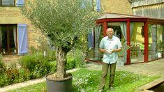 Comment bien planter un olivier et le cultiver dans n'importe quelle région.