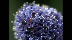 Native plants  An ant crawls across the bud of a California lilac. In winter and spring, lilacs turn western hillsides blue.  http://www.latimes.com/home/la-hm-native-plants-photos-009-photo.html
