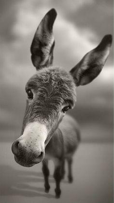 Dark Mule Pet Animal Macro Grayscale #iPhone #6 #wallpaper