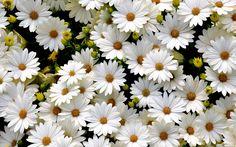 desktop wallpaper for daisy - daisy category