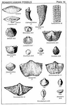 waldron shale fossils - Google Search