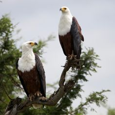 Fish Eagles by Isabel Display Advertising, Print Advertising, Marketing And Advertising, Kruger National Park, National Parks, Retail Merchandising, Us Images, Eagles, Wall Art Prints