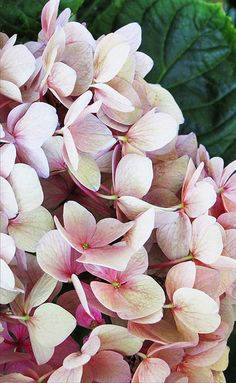 Hydrangea-- for my mom, her favourite flower <3 love you mama