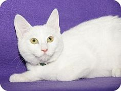 Woodland Hills, CA - American Shorthair. Meet Ivory a Cat for Adoption.