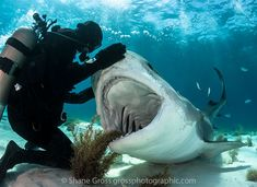 What you need to know about diving Tiger Beach. The sharks, the people and getting the perfect shot.