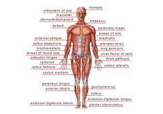 Vocabulary for MDs and Nurses.Human being / Anatomy / Muscles: anterior view