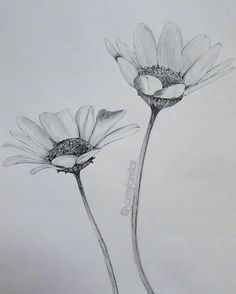 Daisy flower drawings daisy flower sketch pencil pencil sketch drawing pencil drawings of flowers flower sketches Daisy Flower Drawing, Flower Sketch Pencil, Realistic Flower Drawing, Lilies Drawing, Wildflower Drawing, Pencil Drawings Of Flowers, Flower Drawing Tutorials, Pencil Sketch Drawing, Flower Sketches