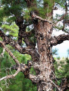 Pinus Canariensis, La Palma