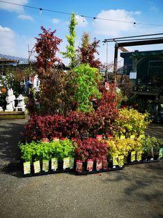 Acer display Trees And Shrubs, Acer, Display, Garden, Plants, Floor Space, Garten, Billboard, Lawn And Garden