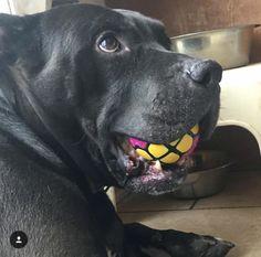 Not letting go of my Dawg Grillz Ball! @qing2b Get your pup the new #DAWGGRILLZ Ballz today at ➡️www.dawggrillz.com⬅️ #dogtoy #squeakytoy #dog #dogstagram #doglover #dogscorner #dogsofinstagram #dogoftheday #puppiesofinstagram #aplacetolovedogs #bestwoof #instadog #lovedogs #pitbullsofinstagram #dontbullymybreed #frenchbulldog #pitbull #pitbulladvocate #goldenretriever #ENDBSL #weeklyfluff #animaladdicts #adoptdontshop #puppysketch #bestdogtoyzever