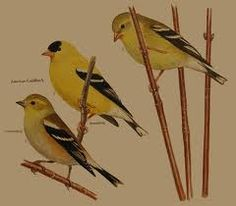 missouri birds - Google Search