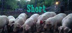 How To Raise Pastured Pigs the Easy Way! Pig Farming, Farms Living, Livestock, Pigs, Homesteading, Raising, Hunting, Survival, Easy