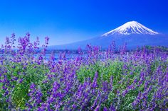 初夏の河口湖大石公園(山梨) 夏になると、まるで紫の絨毯のようにラベンダーが広がり、富士山とセットの光景を楽しめる公園。また、秋には園内のコキアが真っ赤に染まる。河口湖ハーブフェスティバルの会場にもなっている。園内には、河口湖自然生活館があり、ジャム作りやフルーツ狩りも体験できる。
